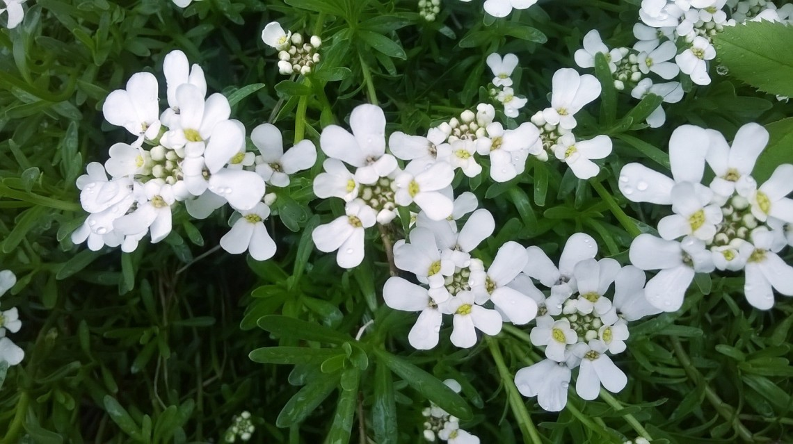 Zoomed picture of little white wild flowers