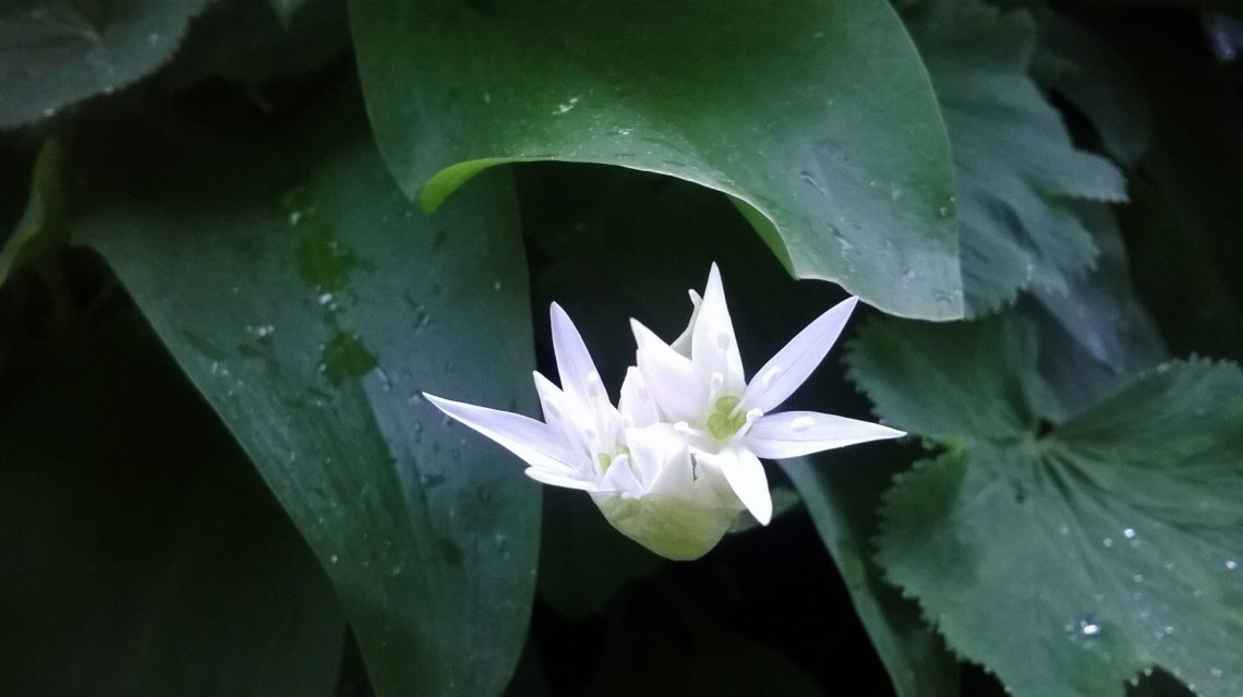 Zoomed picture of two white wild garlic flowers