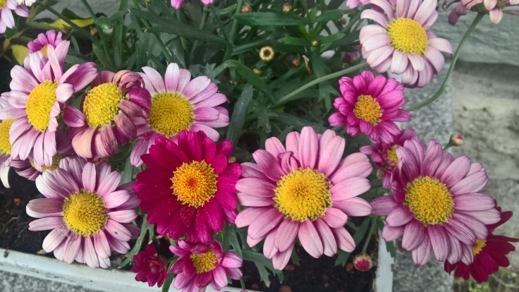 Zoomed picture of pink and purple daisies