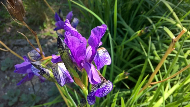 Zoomed picture of purple iris flowers in the sun