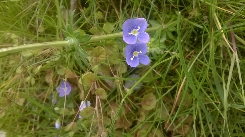 Two Tiny blue flowers