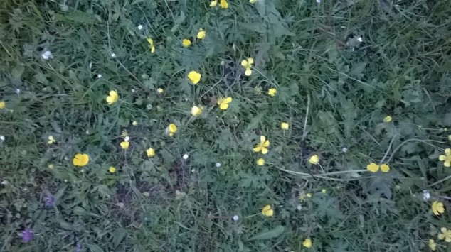A green grass field with yellow small flowers.