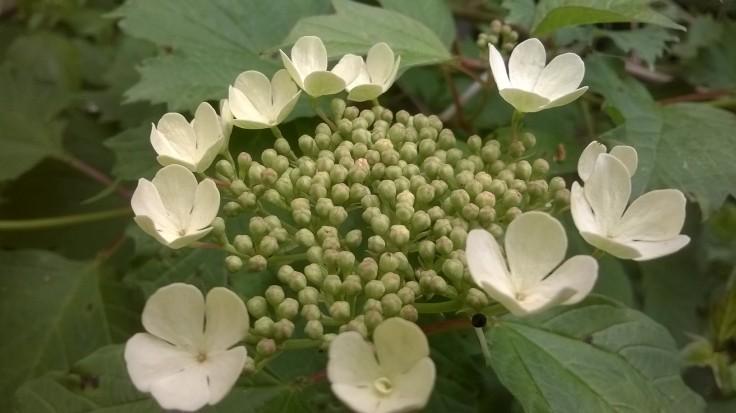 Green flower with satellite white pentagonal flowers.