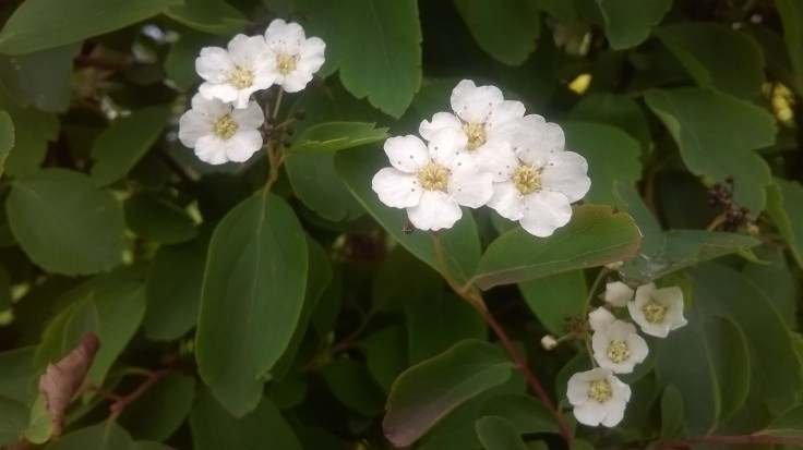 Zoomed picture of groups of three white flowers on the branch