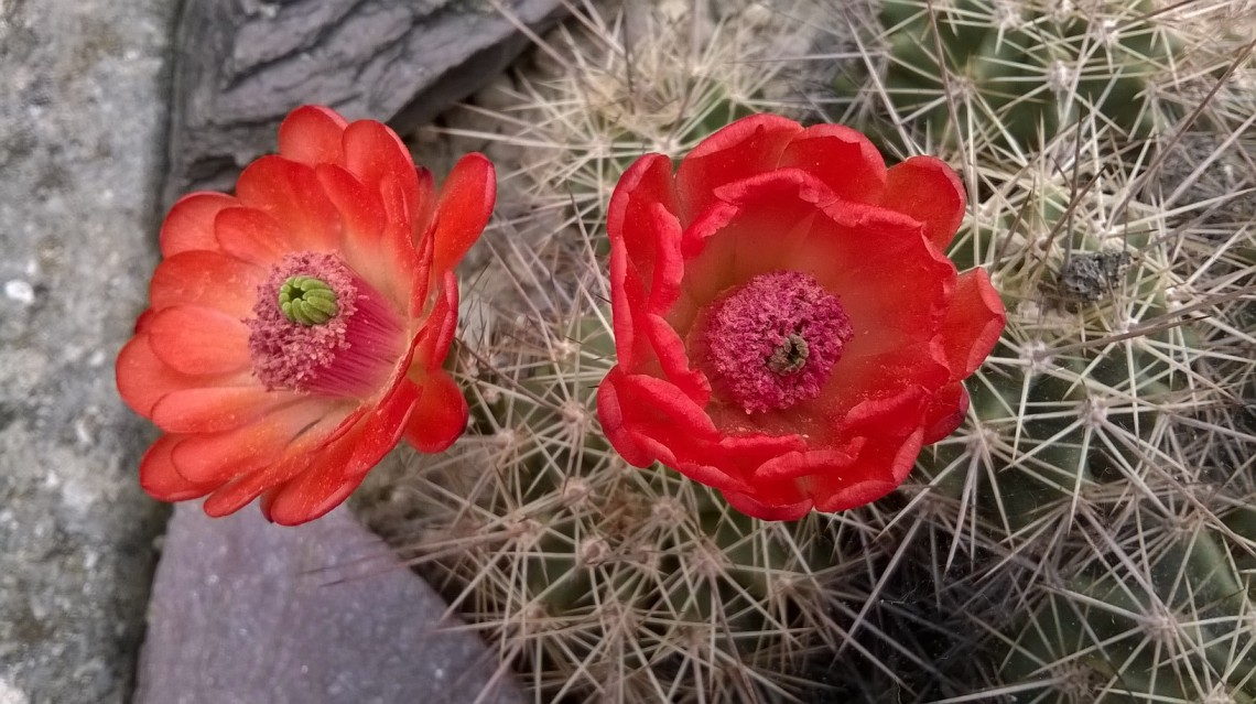 Zoomed picture of deep red cactus flowers