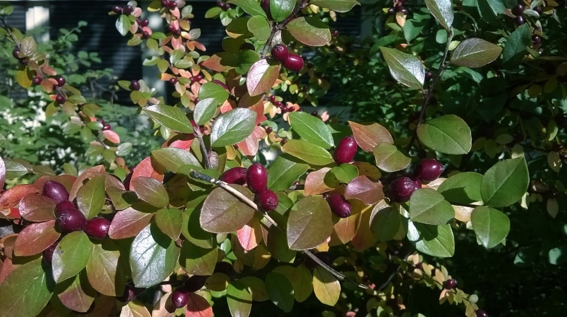 Sharp image of bush with dark red berries