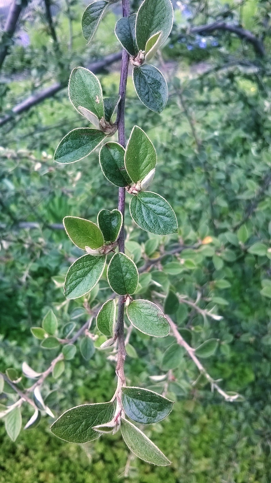 Zoomed picture of a twig with regularly spaced leaves