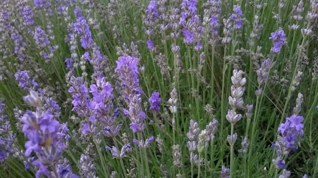 Zoomed picture of lavander flowers