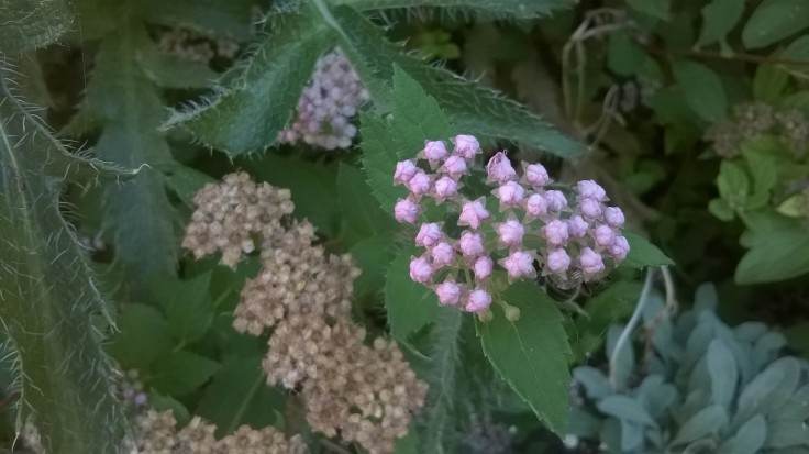 Zoomed picture of pink flower buds with pentagonal shape