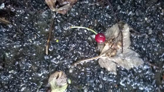 Baby cherry on asphalt floor among dry leaves
