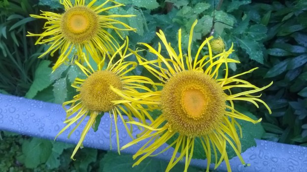 Zoomed image of yellow echinacea composite flower