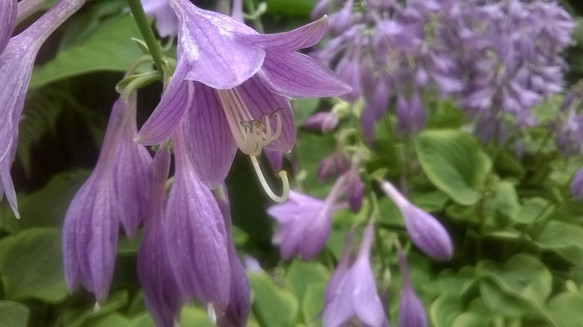 zoomed picture of lilac bell flower