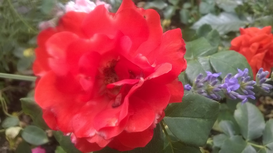 zoomed picture of red rose and lavander in the rain