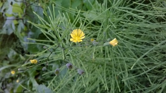 zoomed picture of yellow wild equisetumflower