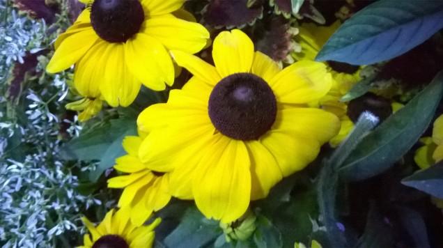 Close-up of yellow arnika flower.