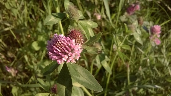 zoomed picture of a pink clover flower