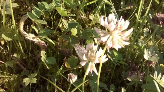 zoomed picture of white clover wild flower