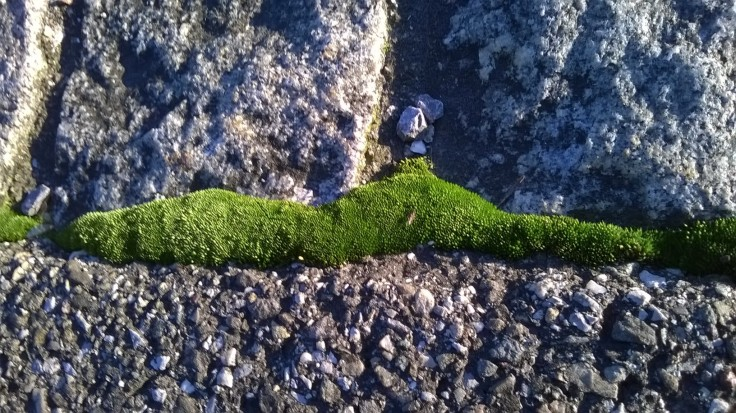 zoomed picture of green moss gworing in a crack of the pavement
