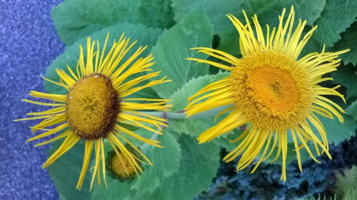 zoomed picture of two yellow arnica flower