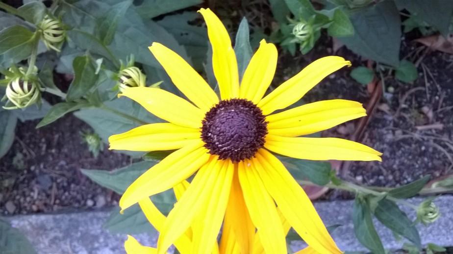close-up of arnika yellow flower
