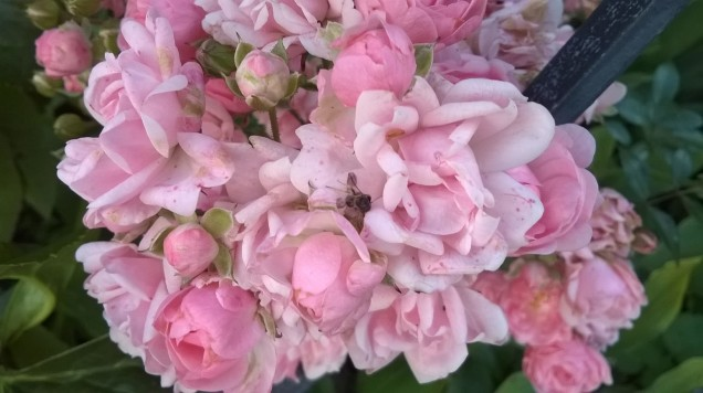 bunch of small tiny pink roses and buds